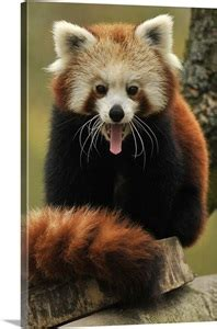A Young Female Red Panda With Its Tongue Out Wall Art