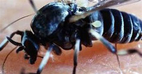 Blandford Fly set to hit UK - what to do if you get bitten