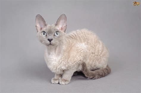 10 Lovely Curly, Wavy & Long Coated Cat Breeds   Pets4Homes