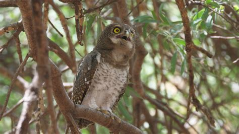 An Owl hooting standing on a tree - Free Stock Video - Mixkit