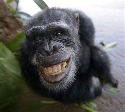 Chimpanzees, monkeys have entered their own Stone Age, but