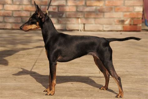 Toy Manchester Terrier Info, Temperament, Puppies, Pictures