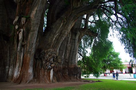 Árbol del Tule: Largest Tree Trunk in the World